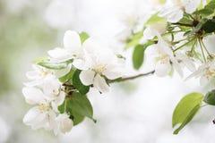 Branchement de pommier Avec les fleurs blanches images libres de droits
