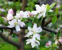 Branchement de pommier Belles fleurs blanches Images libres de droits