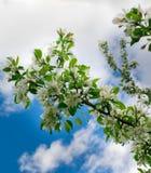 Branchement de pommier Belles fleurs blanches Images stock