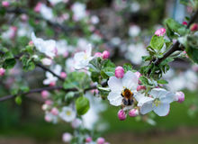 Branchement de pommier Belles fleurs blanches Photos stock