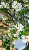 Branchement de pommier Belles fleurs blanches Image stock