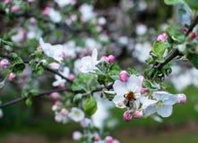 Branchement de pommier Belles fleurs blanches Photo stock