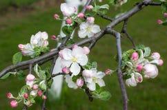Branchement de pommier Belles fleurs blanches Photo libre de droits