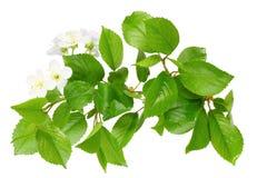 Branchement de prunier avec la lame et les fleurs blanches Image libre de droits