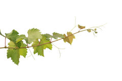 Branchement de raisin photo stock