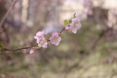 Branchement de Sakura Photo stock