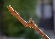 Branchement de vigne Images libres de droits