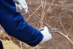 Branchement de vigne d'élagage Photo libre de droits