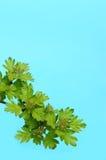 Branchement de Whitethorn avec des fleurs de source. Image stock