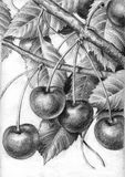 Branchement des cerises mûres Photo stock