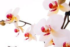 Branchement des fleurs d'orchidée Photo stock
