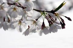 Branchement des fleurs de cerise Image libre de droits