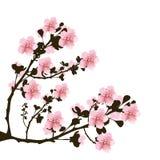 Branchement des fleurs de cerise illustration libre de droits