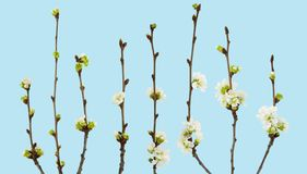 Branchement des fleurs de cerise Branche de cerise avec des fleurs et des bourgeons sur le fond bleu avec le chemin de coupure Photo libre de droits