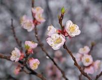 Branchement des fleurs de floraison de sakura images stock