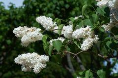 Branchement des fleurs lilas blanches image libre de droits