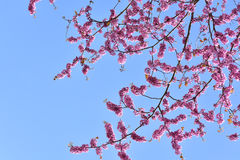 Branchement des fleurs roses Image libre de droits