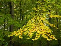 Branchement des lames jaunes de hêtre Photos stock