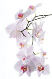 Branchement des orchidées de neige d'isolement sur le blanc Photo stock