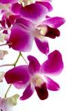 Branchement des orchidées violettes d'isolement sur le blanc Images stock