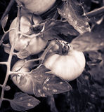 Branchement des tomates Photo libre de droits