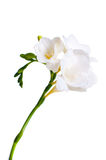 Branchement du freesia blanc Photographie stock libre de droits