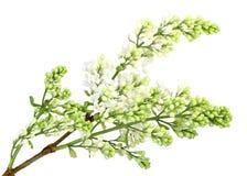 Branchement du lilas blanc sans lame Photo stock