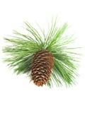 Branchement et cône d'arbre de pin Images libres de droits