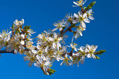 Branchement fleurissant Photographie stock libre de droits