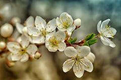 Branchement fleurissant de cerise Photographie stock libre de droits
