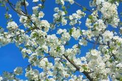 Branchement fleurissant de pomme Photo libre de droits