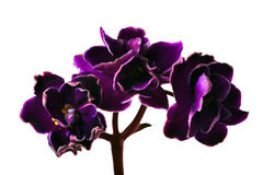 Branchement foncé de trois violettes Image libre de droits