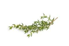 Branchement frais de thym Photo stock