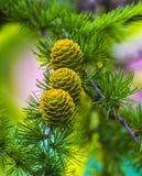Branchement impeccable avec des cônes Collage fait de branches de sapin avec le cône Photos stock