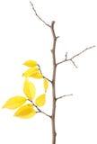 Branchement jaune d'automne d'isolement Images libres de droits