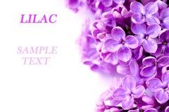 Branchement lilas Photo libre de droits