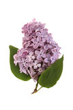 Branchement lilas Photographie stock