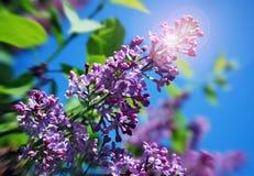 Branchement lilas avec un épanouissement du soleil Photographie stock libre de droits