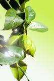 Branchement neuf de citron Photographie stock