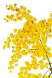 Branchement se développant d'une mimosa Image libre de droits