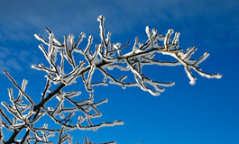 Branchement Snow-covered Photo stock