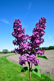 Branchement vert avec des fleurs de lilas de source Photo stock