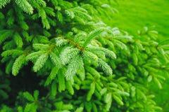 Branchements épineux d'un fourrure-arbre image libre de droits