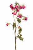 Branchements avec des batteries de petites roses sèches Image libre de droits