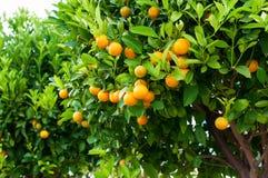 Branchements avec les fruits des arbres de mandarine photos stock