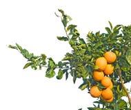 Branchements avec les oranges mûres Photos libres de droits