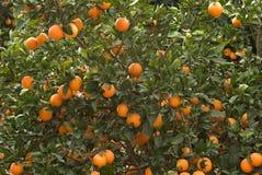 Branchements avec les oranges mûres Photo stock