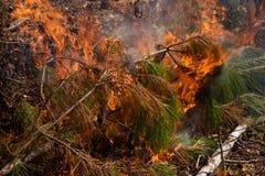 Branchements brûlants de pin Images stock