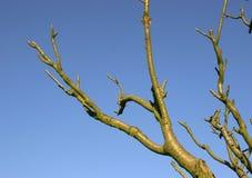 Branchements contre le ciel bleu photo libre de droits