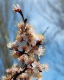 Branchements d'abricots fleurissants blancs photos libres de droits